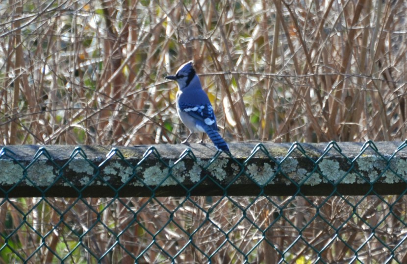 The Voice of the BlueJay