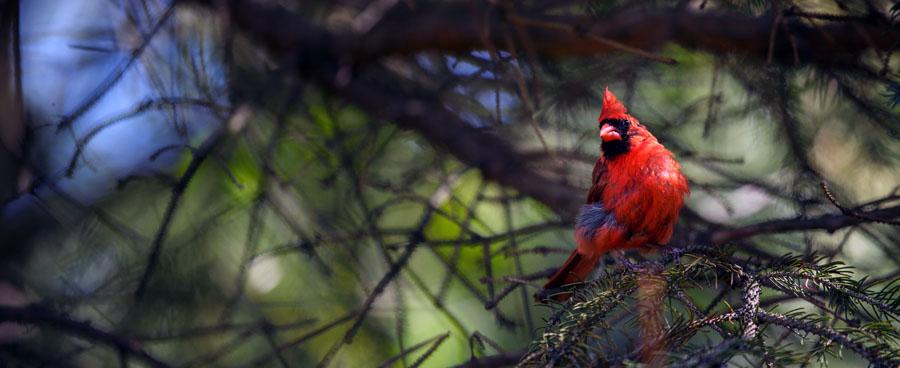 cardinal_on_pine