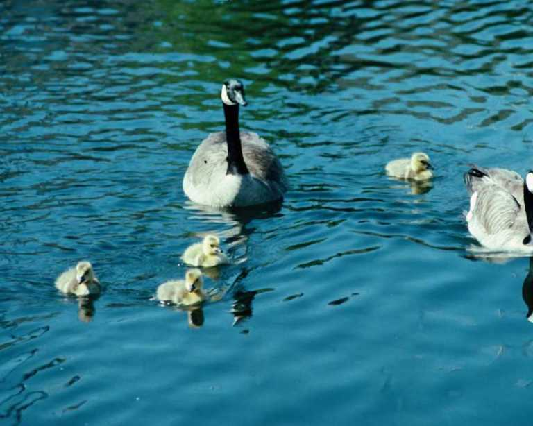 goose-mother-geeses-and-babies-are-floating-on-the-pond-in-sunny-morning