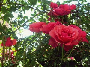 maintaining-a-rose-garden