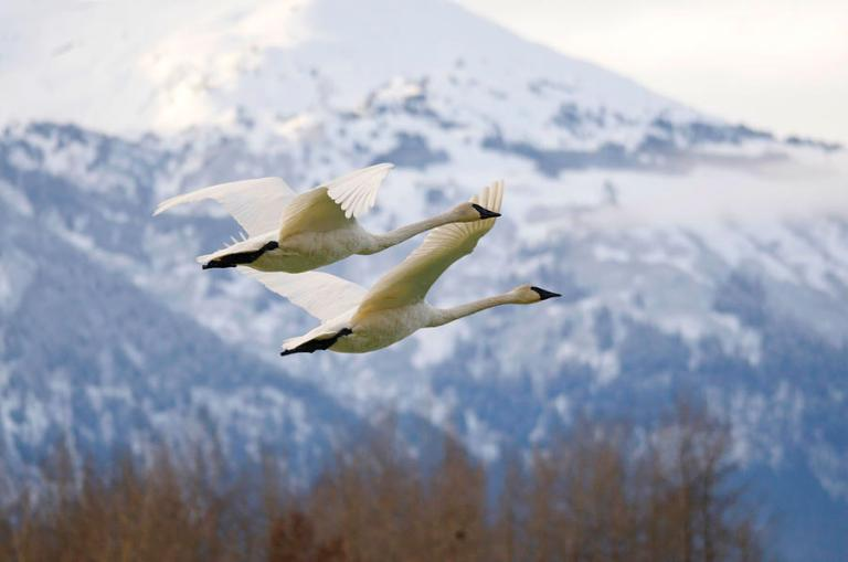 pair-of-tundra-swans-near-a-mountain-in-alaska-clarence-alford
