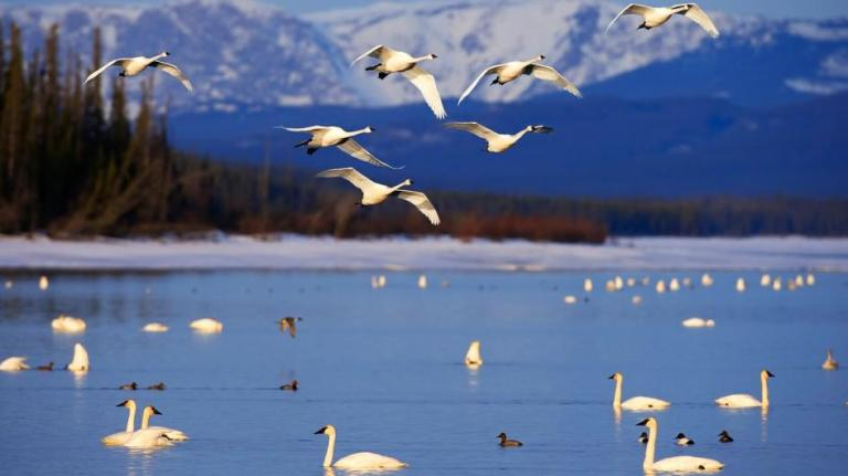 tundra-swan-group-lake-swim-jpg-adapt-945-1